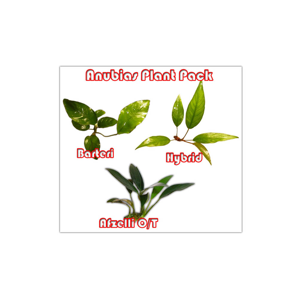 anubias plant