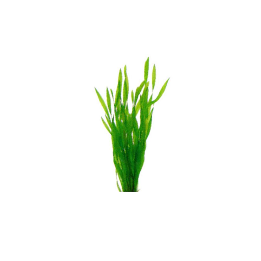 Corkscrew Vallisneria