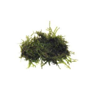 Willow Moss