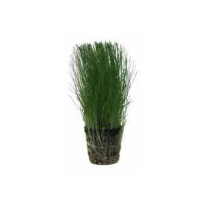 Hairgrass