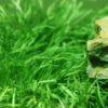 Lilaeopsis Carpet
