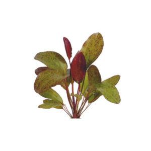 Echinodorus Ozelot Red