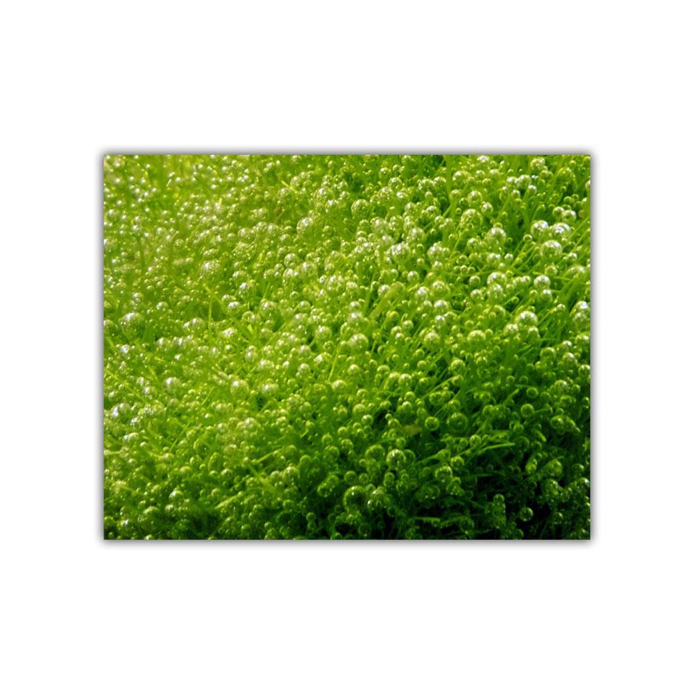 Live Aquatic Plant Fish Tank Crystalwort