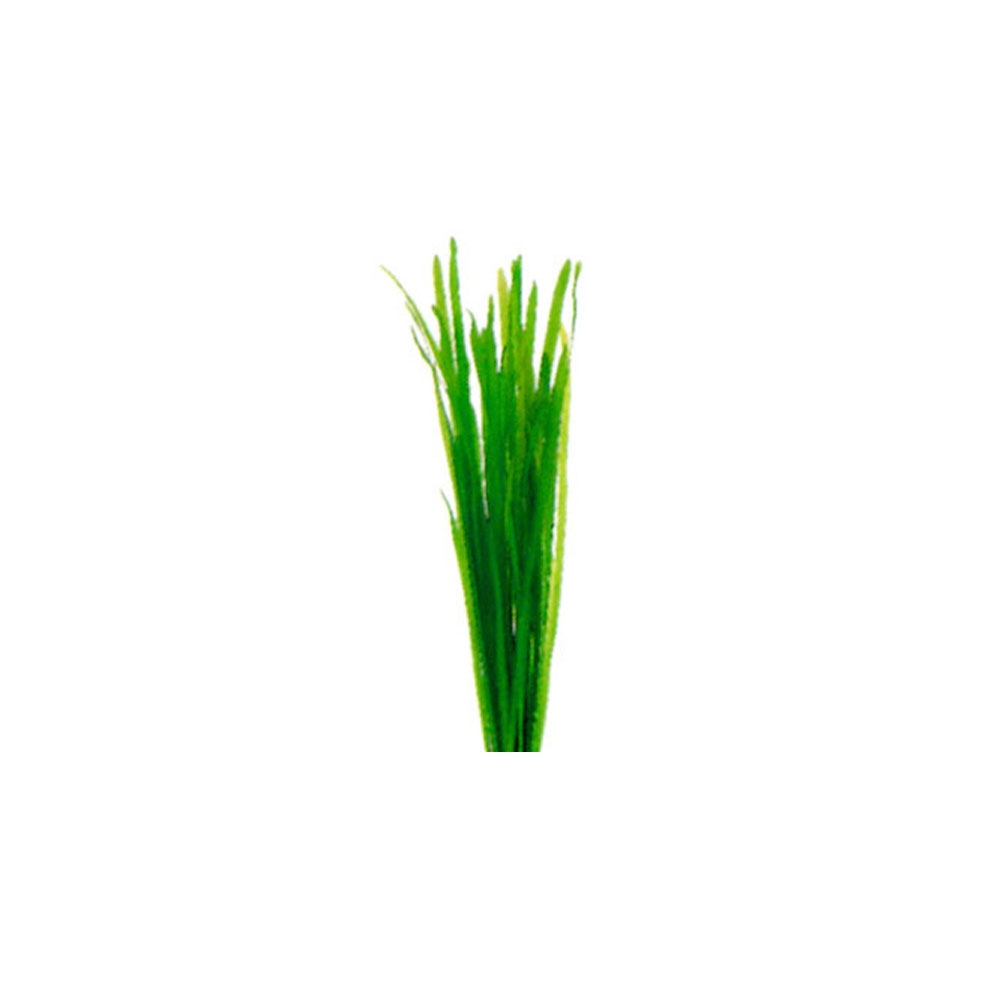 Thin Vallisneria
