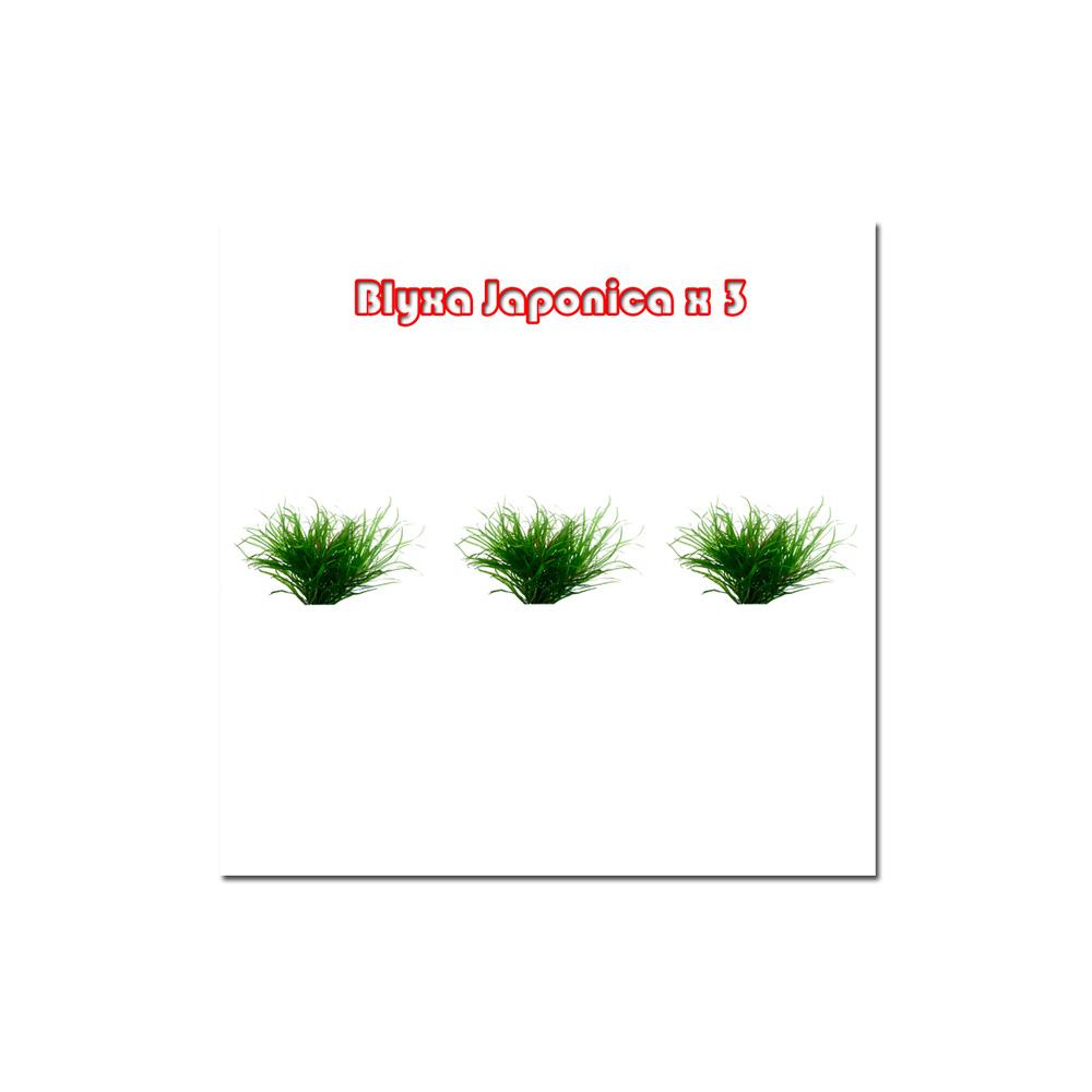 Blyxa Japonica x 3