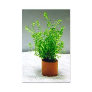 Hemianthus Micranthemoides - Micranthemum