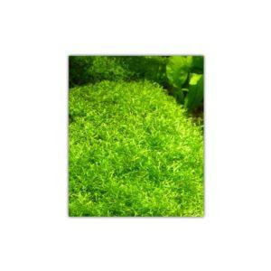 Riccia Fluitans crystalwort