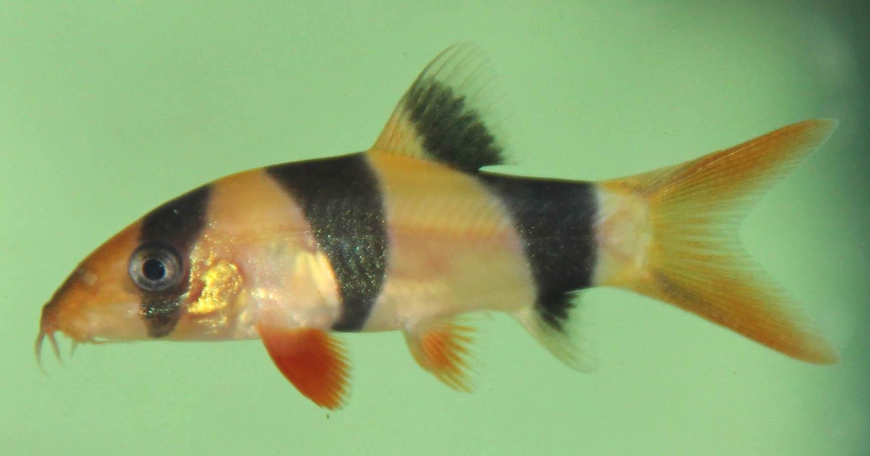 Clown loach serene aquarium australia for Clown fish scientific name