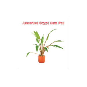 Cryptocoryne Assorted 3cm Pot