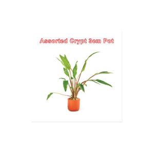 Cryptocoryne Assorted 3cm Pot
