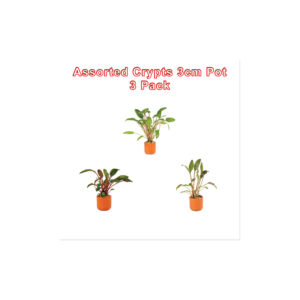Cryptocoryne 3cm Pot 3 Pack