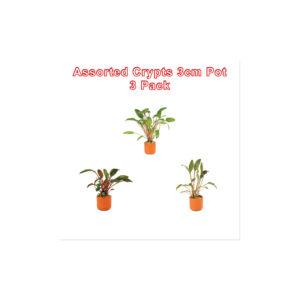 Cryptocoryne 3cm Pot 3 Pack