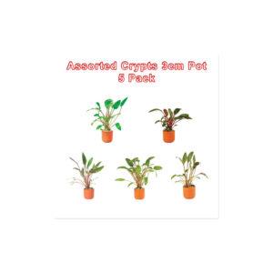 Cryptocoryne 3cm Pots Assorted