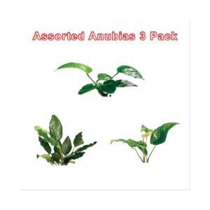 Anubias Live Aquatic Plant