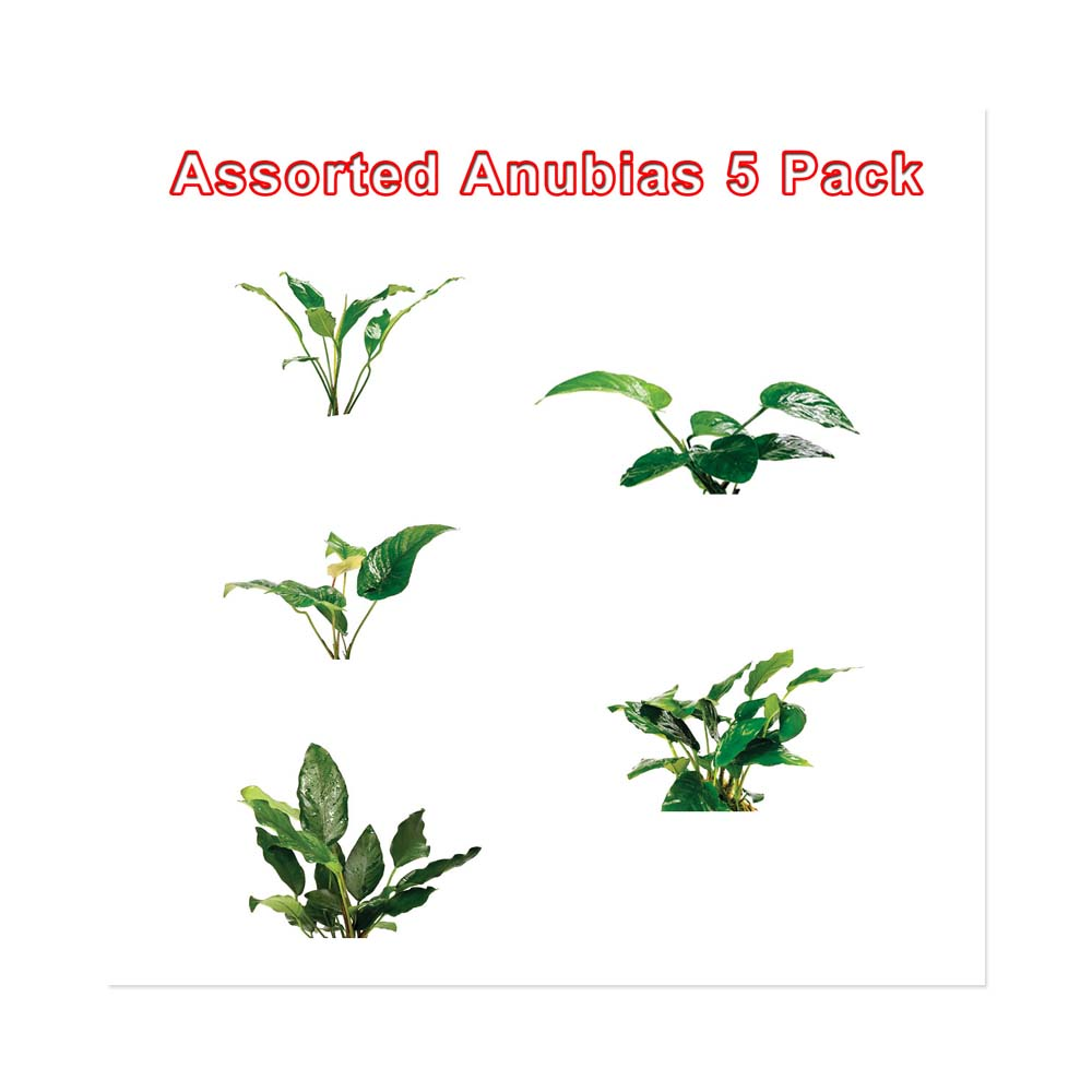 Assorted Anubias 5 Pack