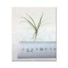 Echinodorus Tenellus - Narrow Leaf Chain Sword Size