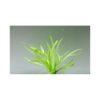 Echinodorus Quadricostatus - Wide Leaf Chain Sword