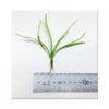 Echinodorus Quadricostatus - Wide Leaf Chain Sword Size
