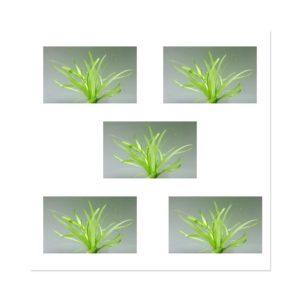 Echinodorus Quadricostatus - Wide Leaf Chain Sword x 5
