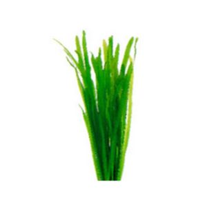 Giant Vallisneria