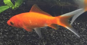 Freshwater Supplies and Accessories Fish Goldfish