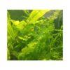 Lace Fern Ceratopteris Thalictroides 1