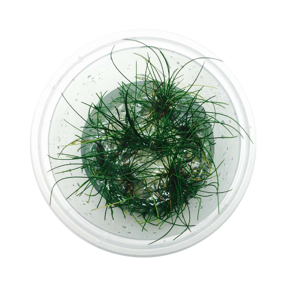 Eleocharis Belem Japanese Dwarf Hair Grass Tissue Culture