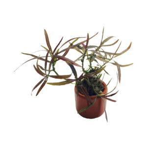 Hygrophila Lancea
