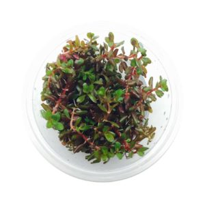 Rotala Colorata Tissue Culture