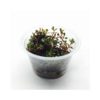 Rotala Colorata Tissue Culture 1