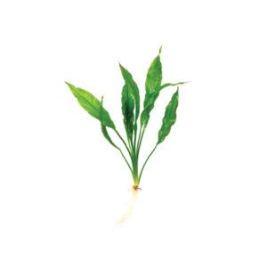 Echinodorus Frilly
