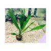 Echinodorus Frilly 1
