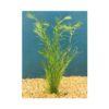 Hydrilla Live Aquatic Plant